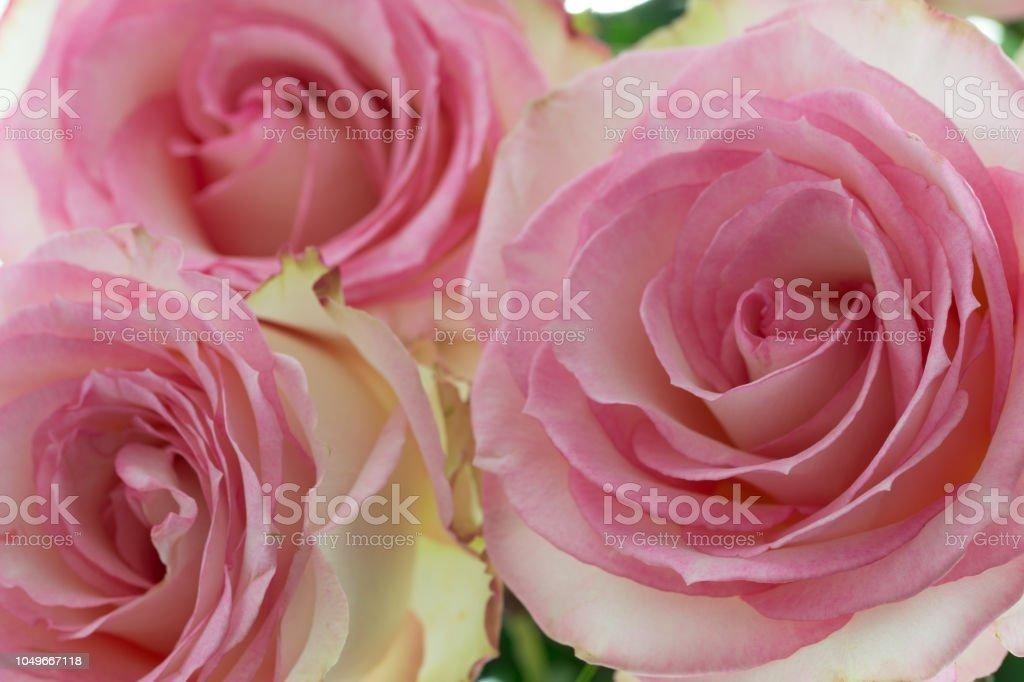 Bouquet De Roses De Couleur Rose Et Blanche De Plan ...