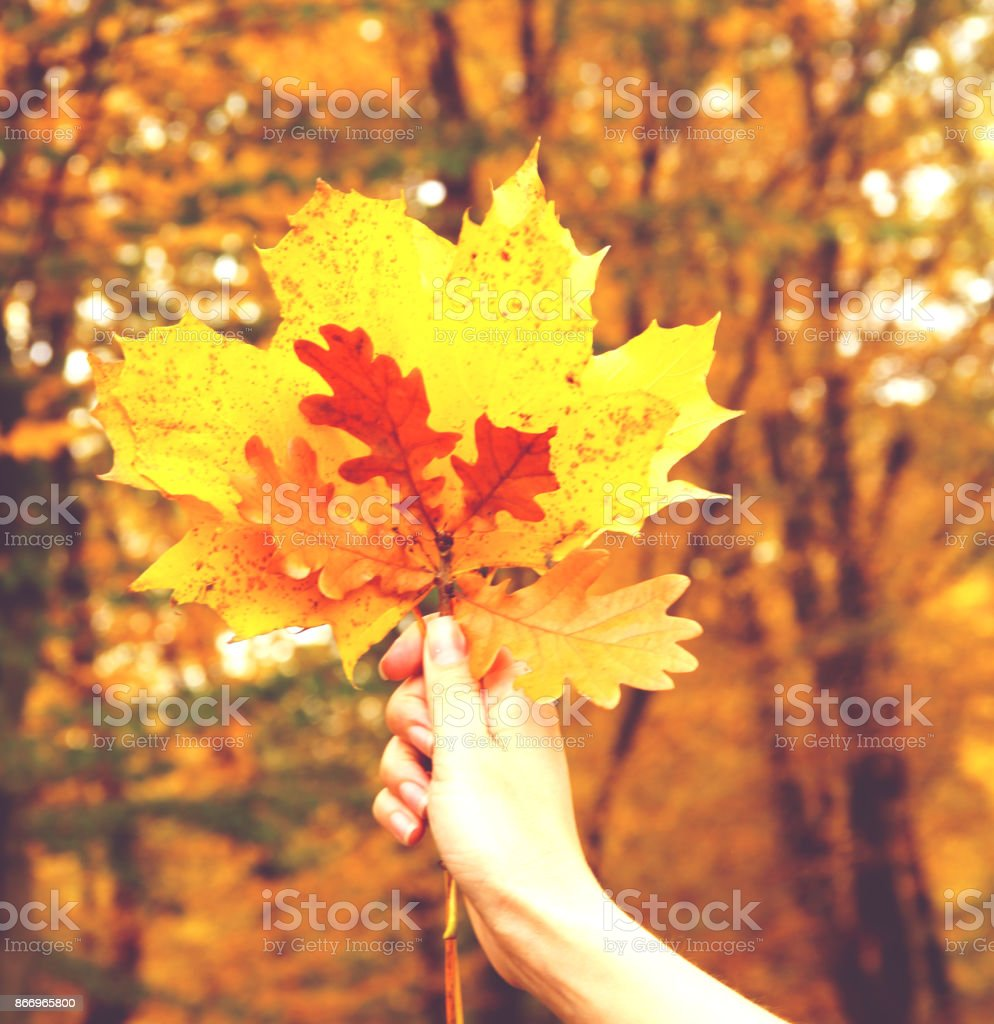 Bouquet from yellow autumn leaves in a hand. stock photo