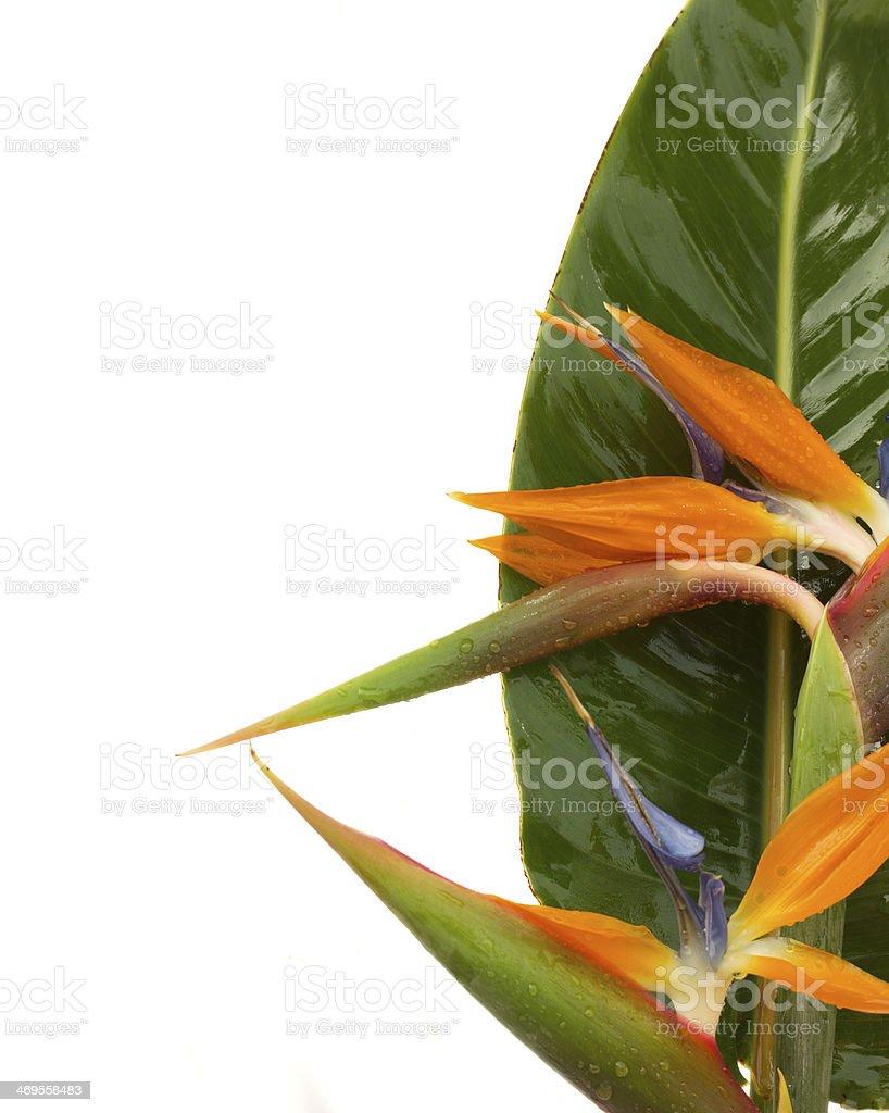 bouquet o strelitzia flowers stock photo