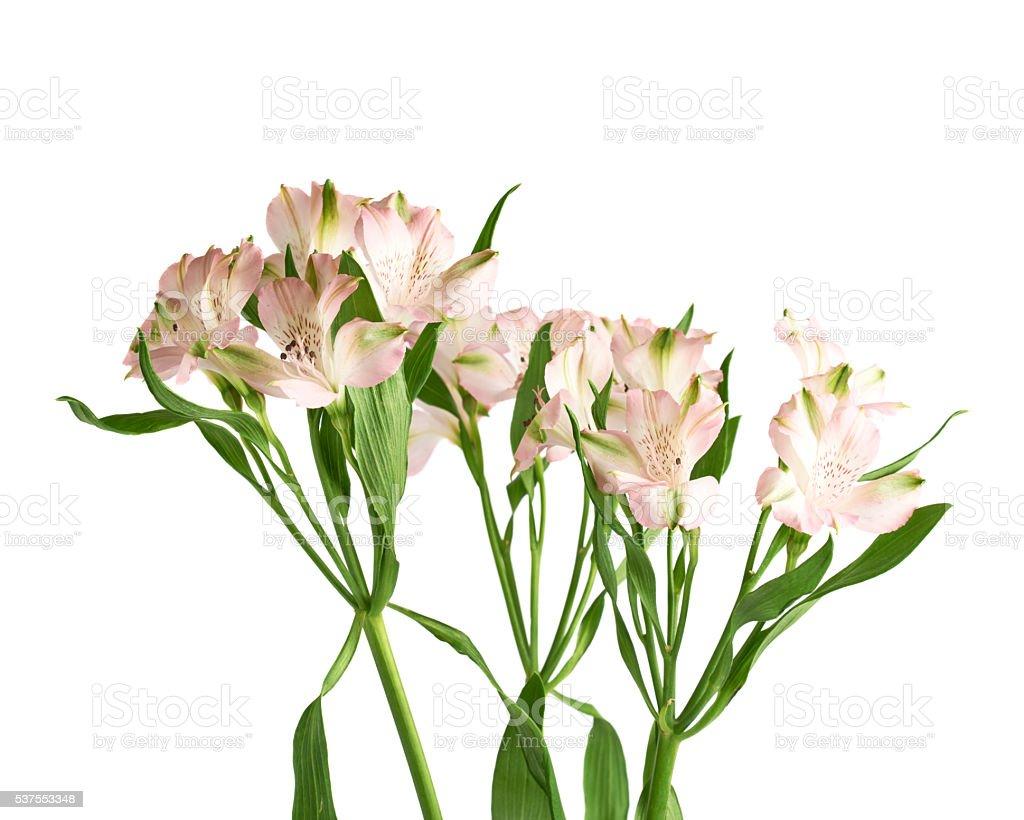 Bouquet of alstroemeria flowers stock photo