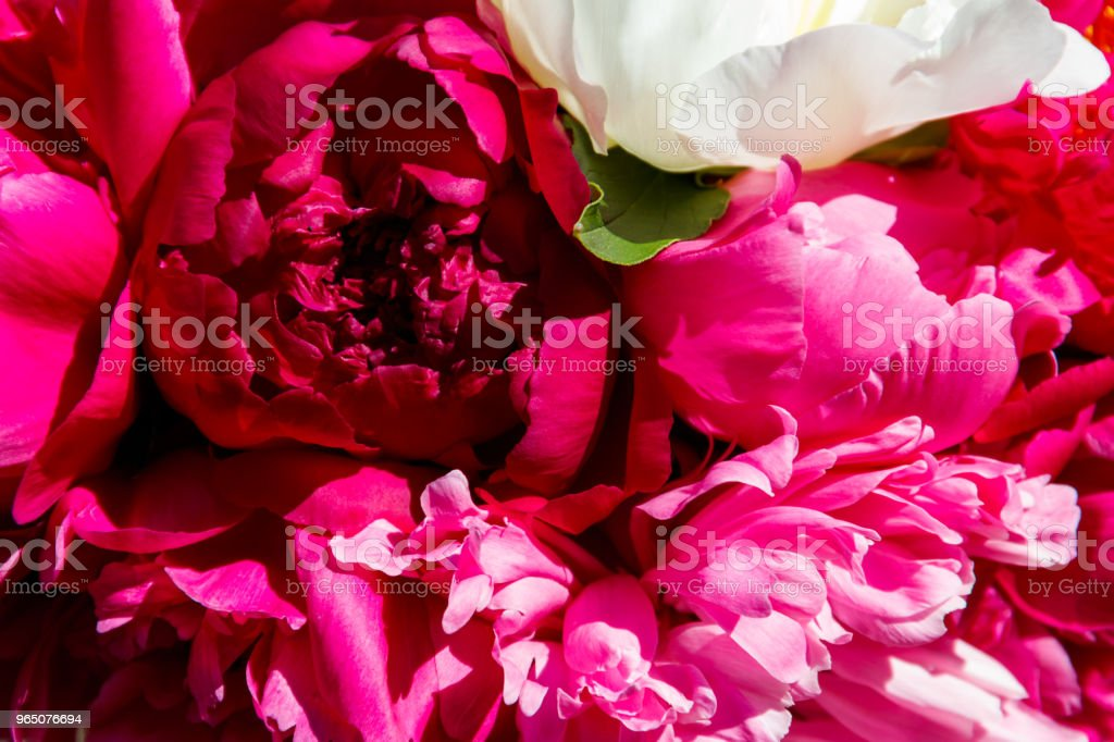 Bouquet of beautiful flowers of peonies close-up zbiór zdjęć royalty-free