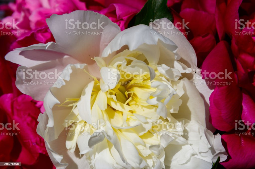 Bouquet of beautiful flowers of peonies close-up royalty-free stock photo