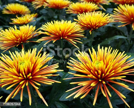 Bouquet of beautiful orange chrysanthemum like fireworks flowers background