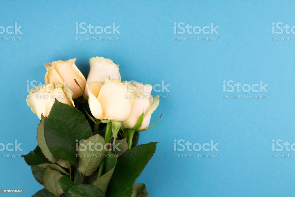 Bouquet of beige roses on blue background, flat lay, top view, copy space. Mothers day. Valentines day royalty-free stock photo