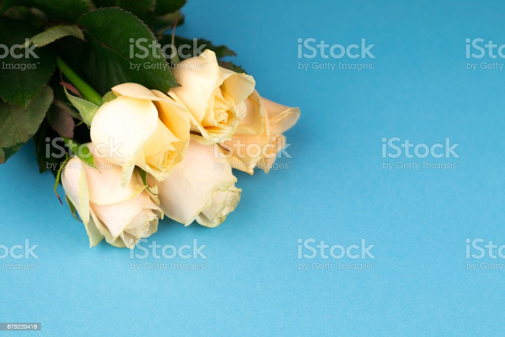 Bouquet of beige roses on blue background, top view, copy space. Mothers day. Valentines day royalty-free stock photo