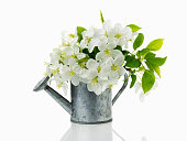Bouquet of blooming branches of Apple trees in a vase in shape of garden watering can. White flowers in watering can isolated on white background.