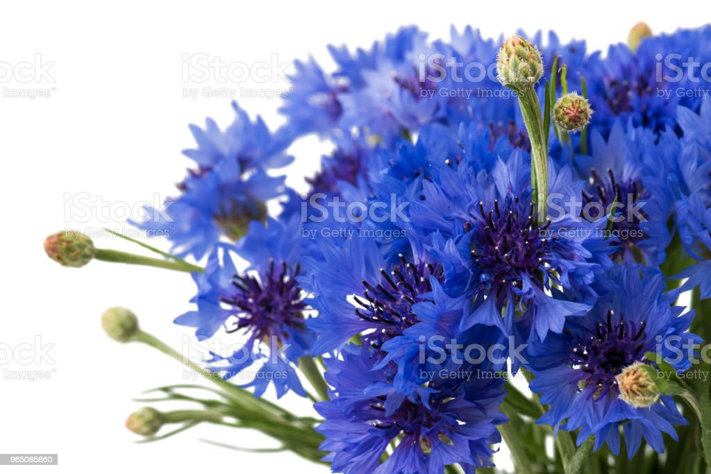Bouquet of blue cornflowers isolated on white background. Selective focus zbiór zdjęć royalty-free