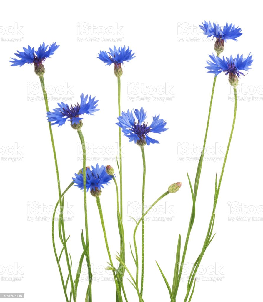 Bouquet of blue cornflowers isolated on white background. Selective focus stock photo