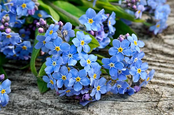 buquê de azul esquecer-me sobre um fundo de madeira - miosótis - fotografias e filmes do acervo