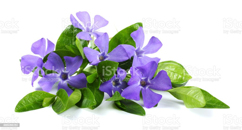 Bouquet of blue periwinkle (Vinca minor) isolated on white background stock photo