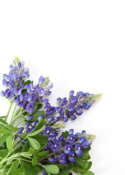 bouquet of bluebonnets - bluebonnet stock photos and pictures