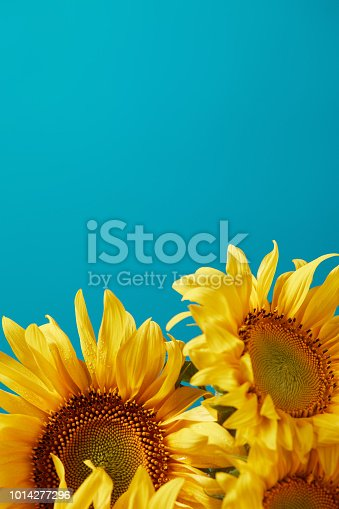 bouquet of bright yellow sunflowers, isolated on blue with copy space