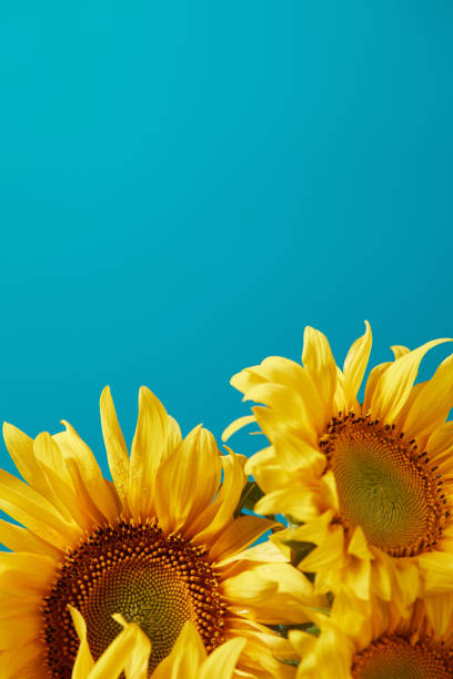 bouquet of bright yellow sunflowers, isolated on blue with copy space - sunflower стоковые фото и изображения
