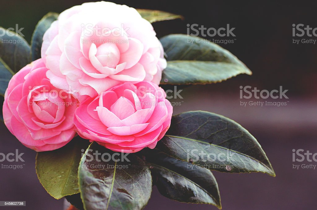 Bouquet of camellia flowers stock photo