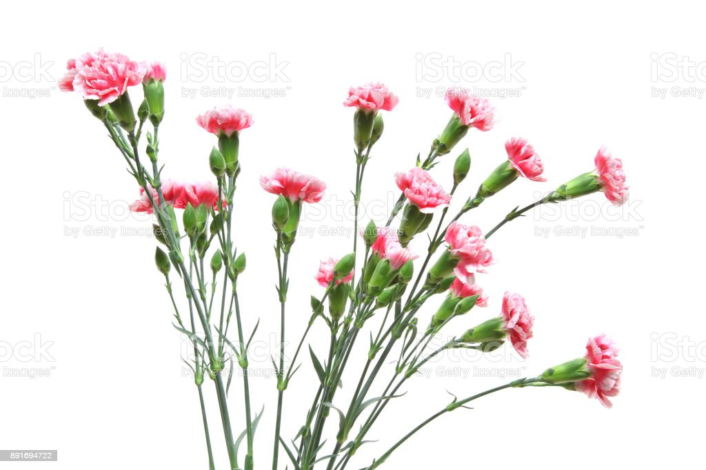 bouquet of carnation in a white background stock photo