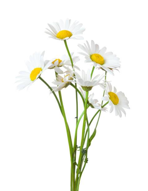 ramo de chamomiles (margarita) aislado en un fondo blanco. - planta de manzanilla fotografías e imágenes de stock