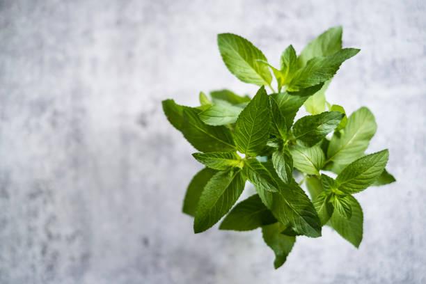 Bouquet of Chocolate Mint Viewed from Above stock photo