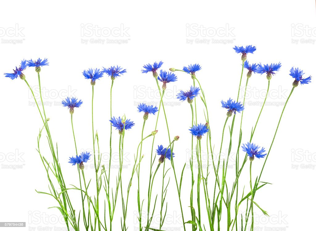 bouquet of cornflowers isolated on white background stock photo