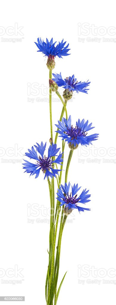 bouquet de cornflowers isolé sur fond blanc - Photo