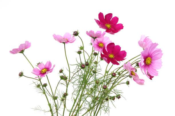 白地にコスモスの花束 ストックフォト