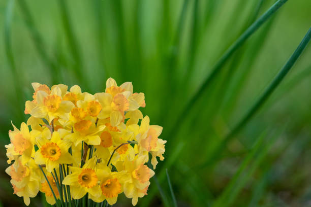 Bouquet of daffodils among the grass.Springtime stock photo