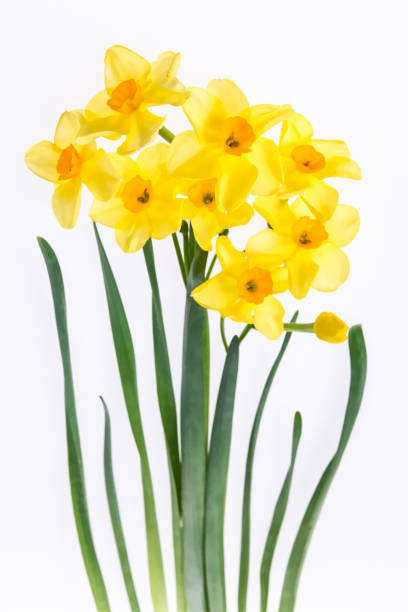 Bouquet of daffodils isolated on the white background. Floral background treated as watercolor stock photo