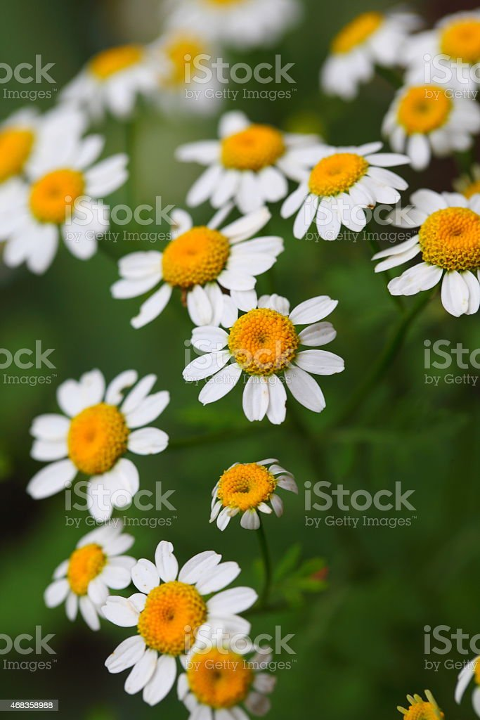 bouquet of daisies royalty-free stock photo