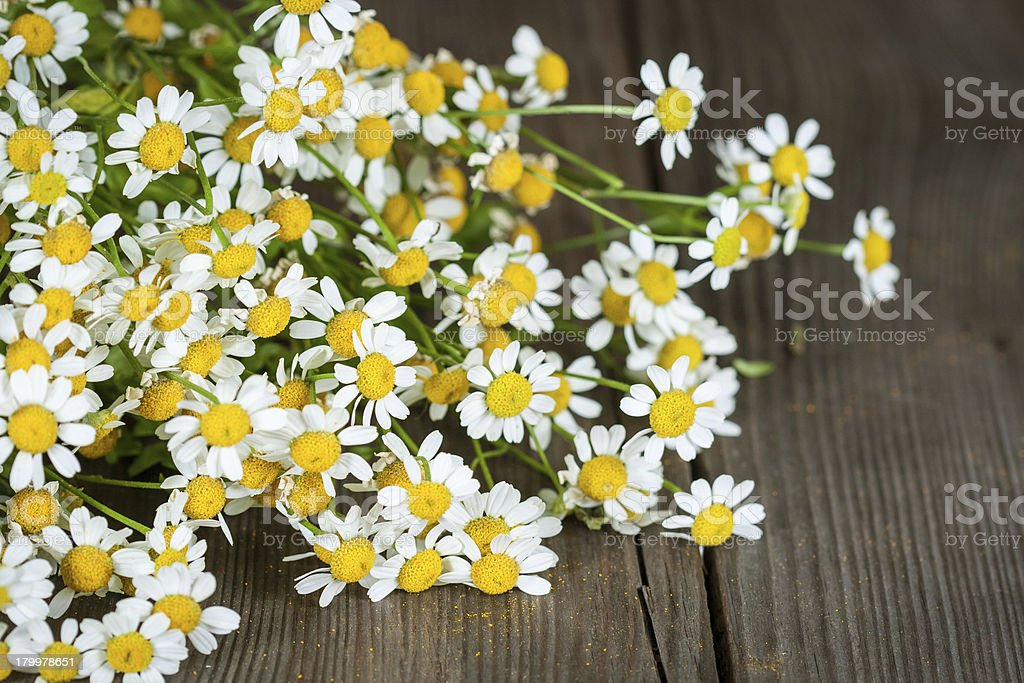 Bouquet of daisies. Pyrethrum royalty-free stock photo