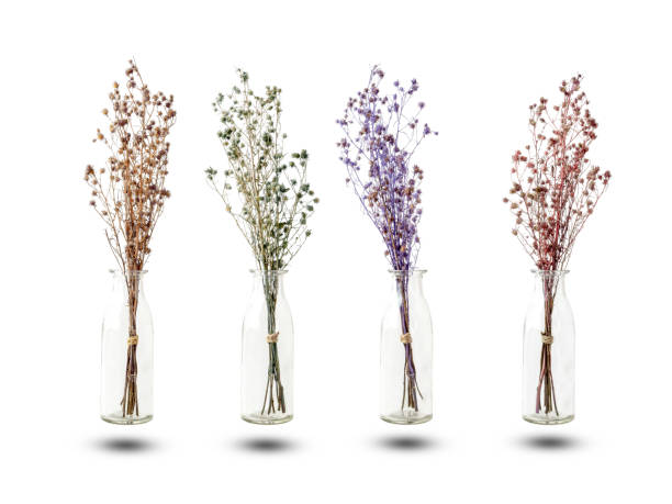 Bouquet of dried Gypsophila flowers for decoration Bouquet of dried and wilted purple, green, red and brown Gypsophila flowers in glass bottle isolated on white background dried plant stock pictures, royalty-free photos & images