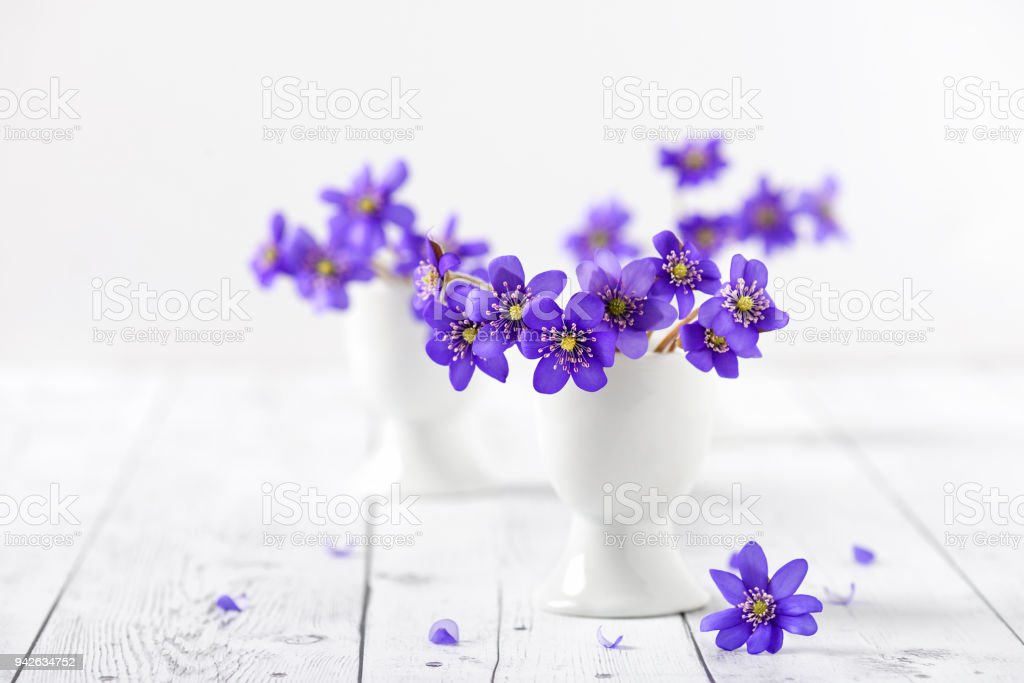 Bouquet of early spring wild blue hepatica flowers in small vase on white background. stock photo