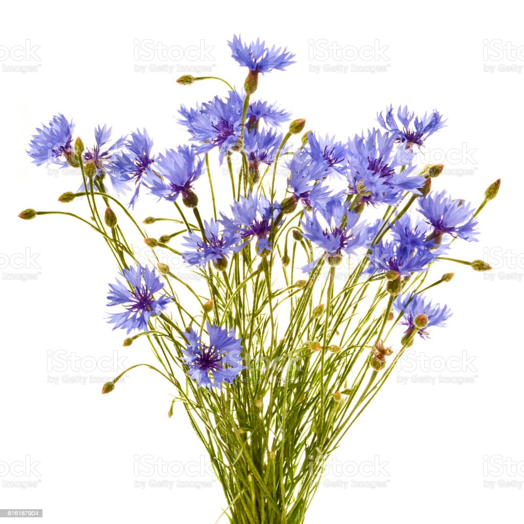 Bouquet of field cornflowers close up on a white background. stock photo