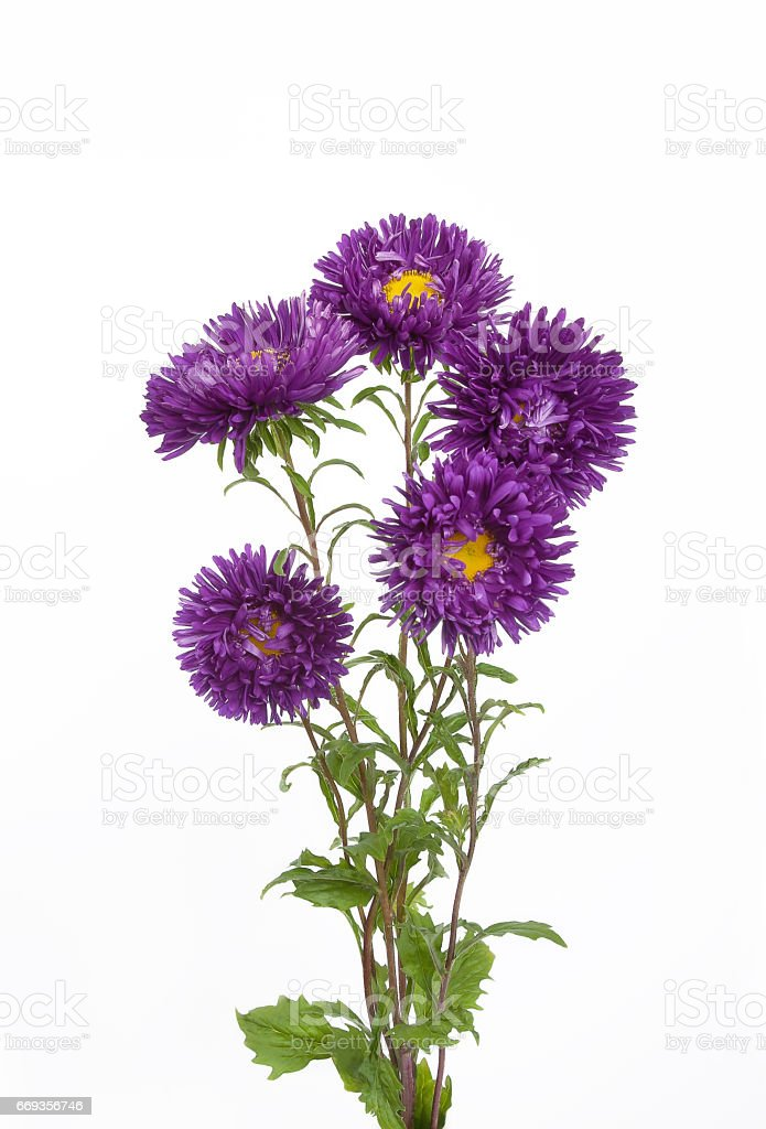 Bouquet of five needle purple asters flowers stock photo