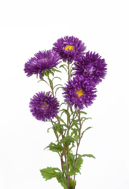 Blumenstrauß fünf Nadel lila Astern – Foto