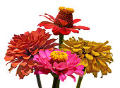 Bouquet of four Zinnia flowers on a white background