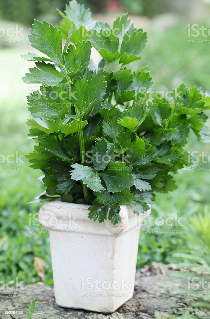 bouquet of fresh Celery royalty-free stock photo