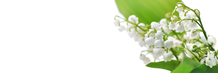 bouquet of freshness lily of the valley blooming on white background in panoramic view