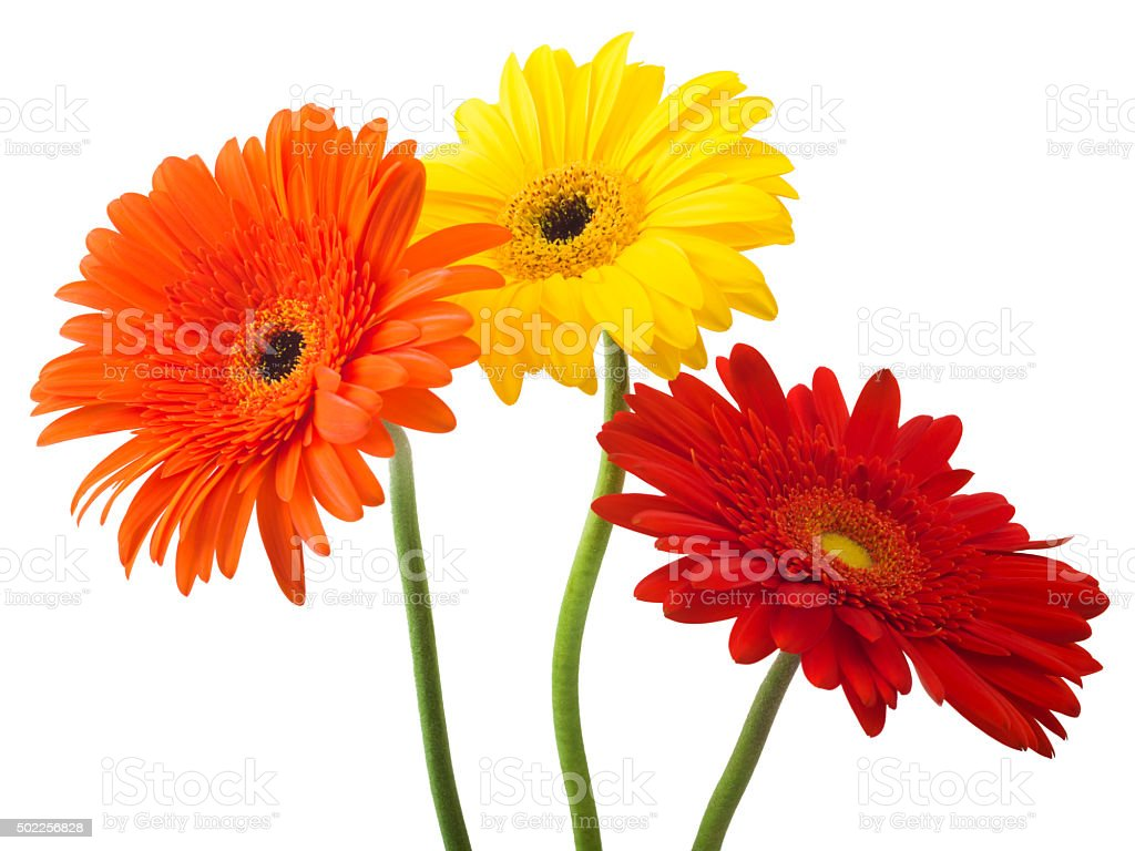 bouquet of gerberas on a white background stock photo