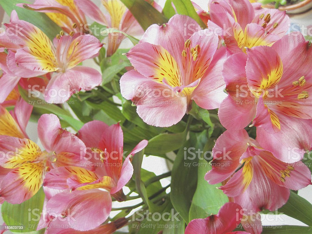 Bouquet of Hot Pink Alstromeria - Closeup stock photo