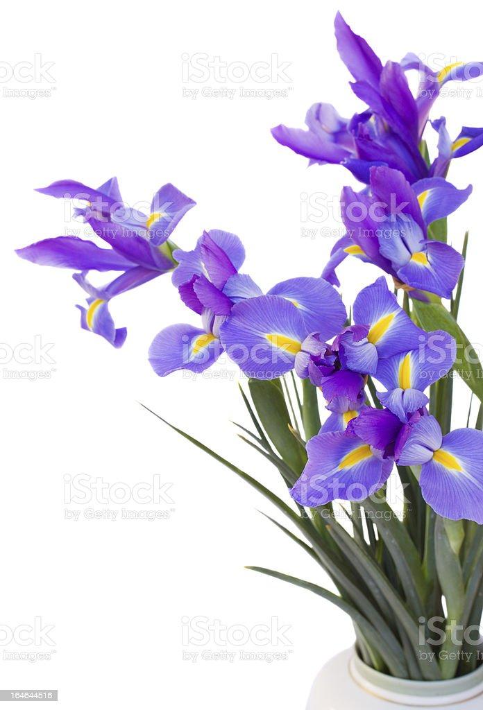 bouquet of irises flowers royalty-free stock photo