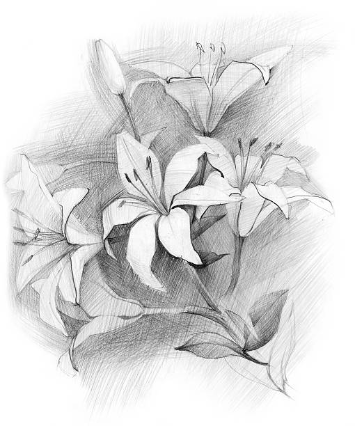 bouquet of lily - pencil drawing stock pictures, royalty-free photos & images