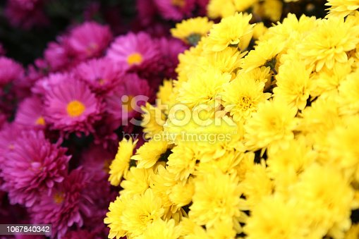 istock Bouquet of many flowers of yellow and purple chrysanthemums. 1067840342