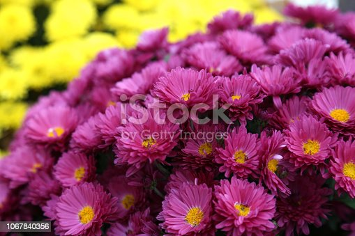 istock Bouquet of many flowers of yellow and purple chrysanthemums. 1067840356