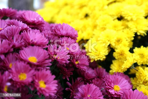 istock Bouquet of many flowers of yellow and purple chrysanthemums. 1067840364