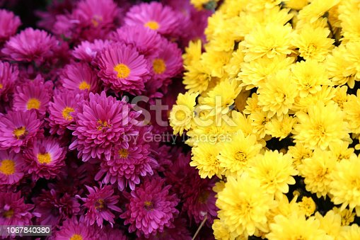 istock Bouquet of many flowers of yellow and purple chrysanthemums. 1067840380