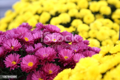 istock Bouquet of many flowers of yellow and purple chrysanthemums. 1067840394
