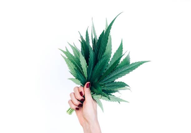 Bouquet von Marihuana Blätter in Frau Hand isoliert auf weißem Hintergrund. – Foto