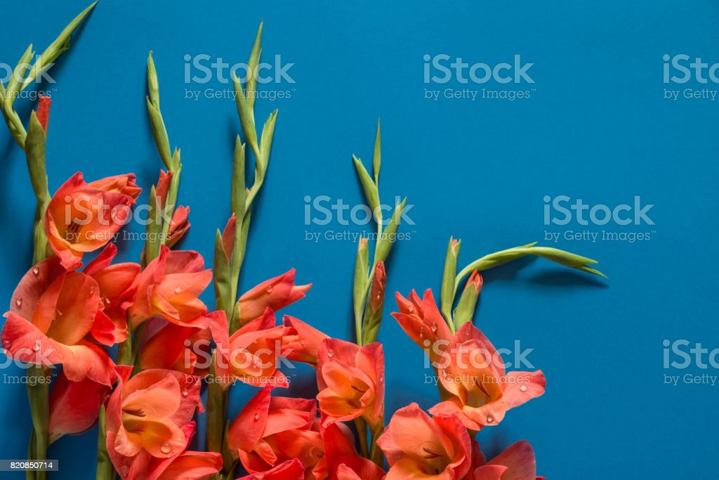 Bouquet of orange gladiolus on blue background, top view. stock photo