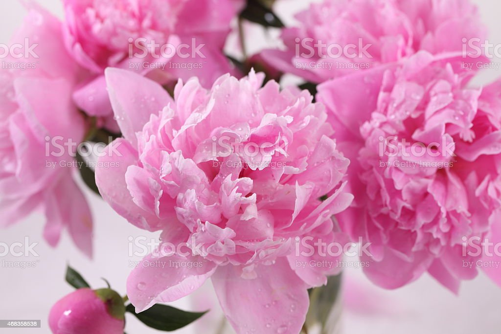 Bouquet of peonies on a white background royalty-free stock photo