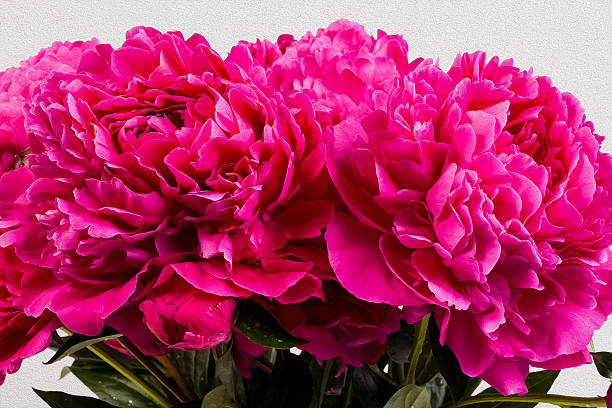 bouquet of peonies - spring stock photos and pictures