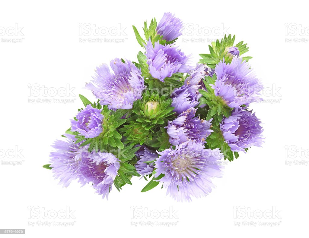 Bouquet Of Pincushion Flowers In A White Background Stock Photo